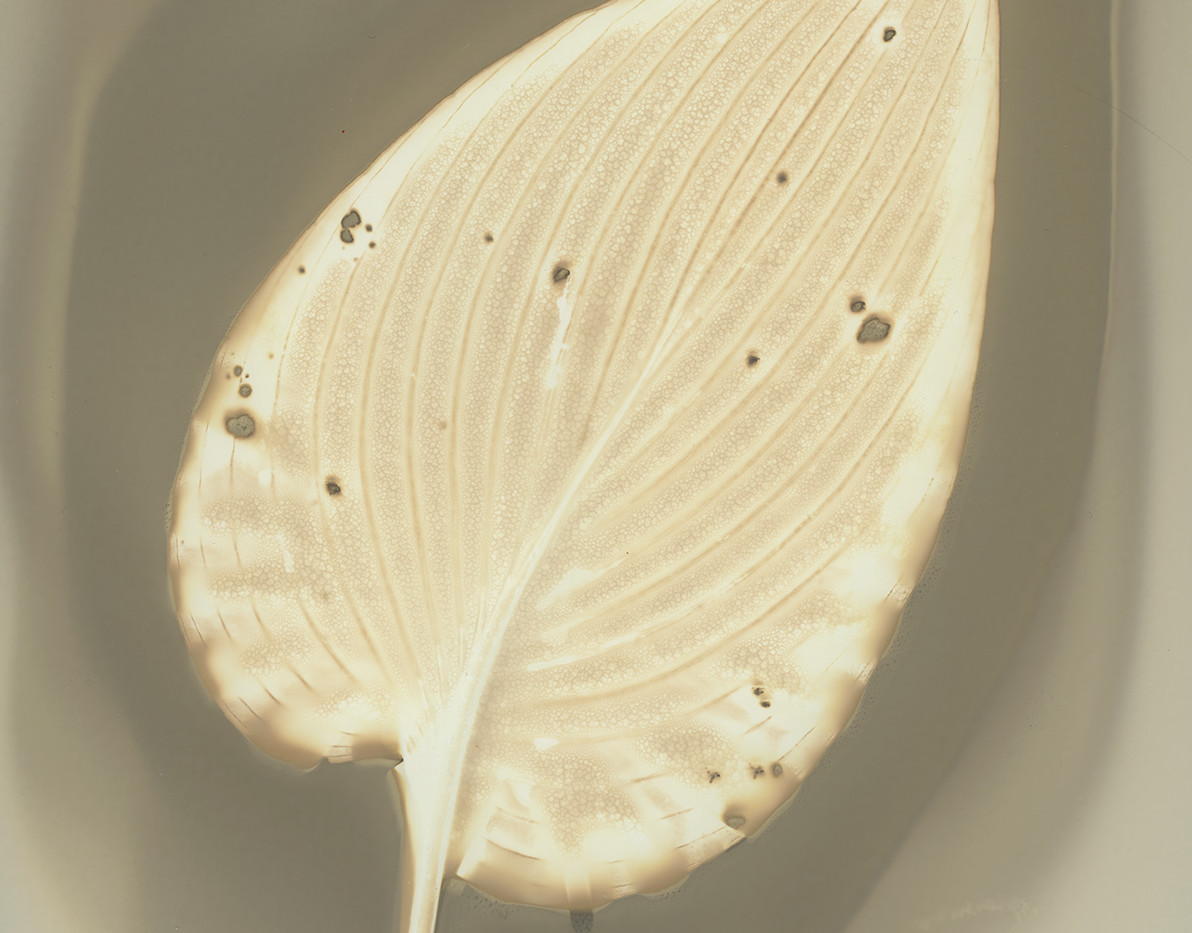 Hosta Leaf - Fixed.jpg