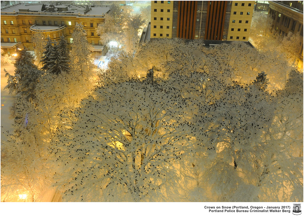 Вороны на снегу