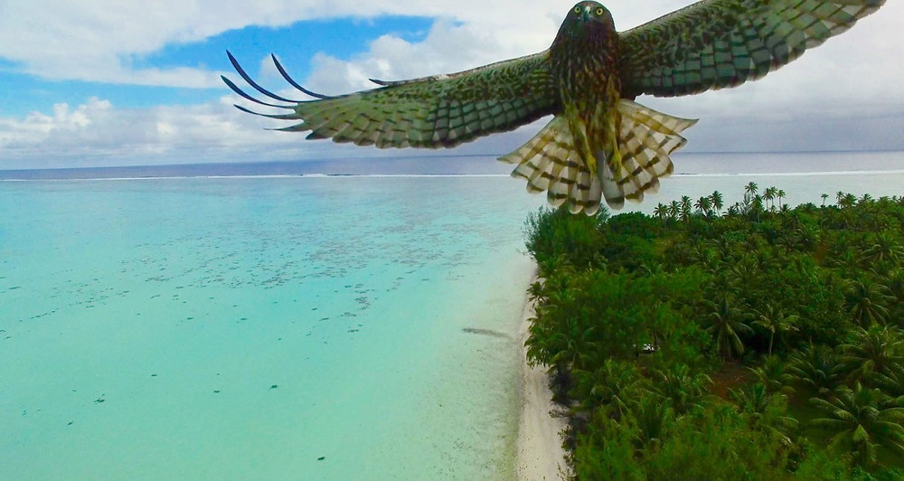 Bird attack in French Polynesia