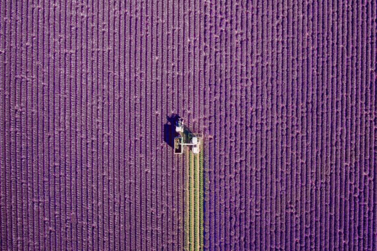 Fields of Lavender in Valensole, Provence, France