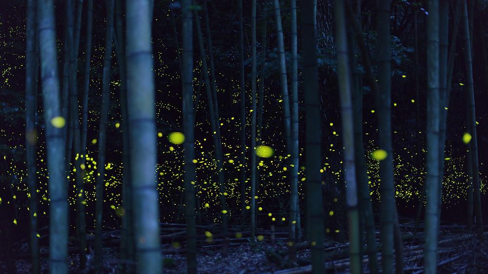 Золотые светлячки в Японии