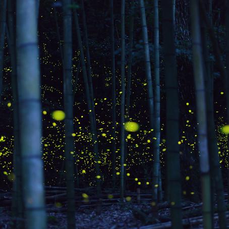 Великолепные фотографии золотых светлячков в Японии