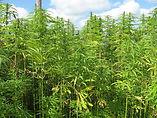 coltivazione-di-canapa-industriale-a-ede