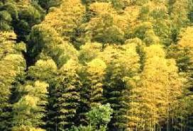竹の秋と秋の麦
