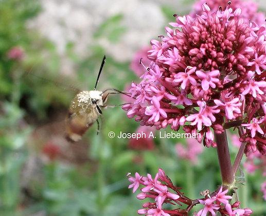 Gold Sphinx Moth, Saint-Cirq-Lapopie