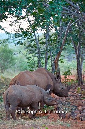 Zimbabwe, Rhinos