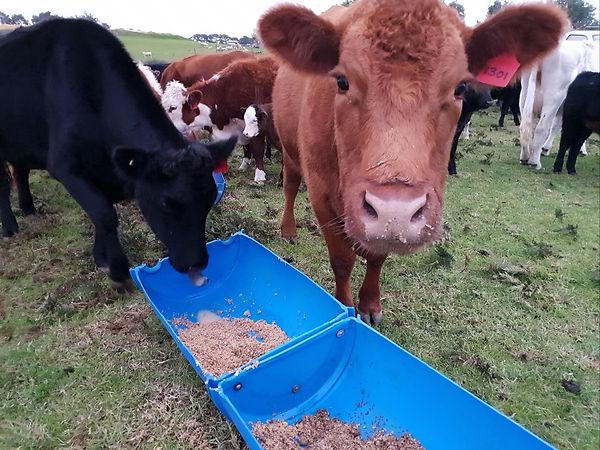 Cow-4-3927237214-1531648490498.jpg