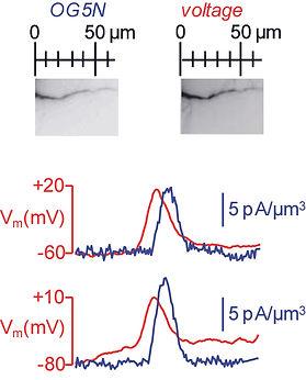 research team  voltage calcium neuron imaging channels marco canepari