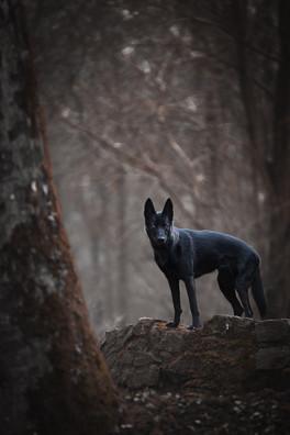 Katja-Reinl-Photography-schwarze-Wolfshündin-steht-im-mystischen-Wald