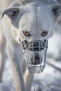 Katja-Reinl-Photography-Herdenschutzhund-mit-Maulkorb-laeuft-auf-Kamera-zu