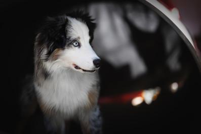 Katja-Reinl-Photography-blue-merle-Australian-Shepherd-steht-vor-dunklem-Hintergrund-und-schaut-nach-rechts