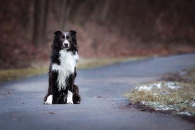 Katja-Reinl-Photography-junger-Australian-Shepherd-Rüde-sitzt-auf-Weg-mit-Wald-im-Hintergrund.