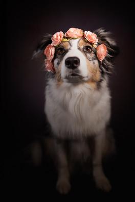 Katja-Reinl-Photography-Blue-merle-Australian-Shepherd-Hündin-trägt-rosa-Blumenkranz-vor-schwarzem-Hintergrund