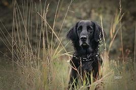 Fotografie, Flat coated Retriever, schwarz, Gras, Natur, Outdoor