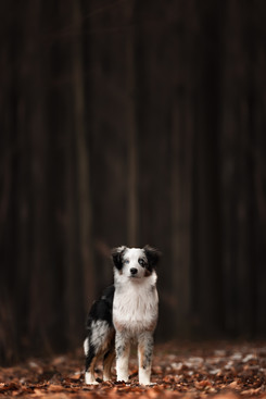 Katja-Reinl-Photography-junger-blue-merle-Australian-Shepherd-steht-vor-einem-dunklen-Wald