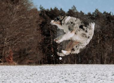 Katja-Reinl-Photography-blue-merle-Australian-Shepherd-Hündin-fängt-Schneeball-in-der-Luft