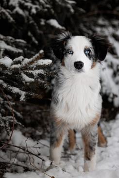 Katja-Reinl-Photography-blue-merle-Australian-Shepherd-Welpe-steht-im-Schnee-vor-Baeumen