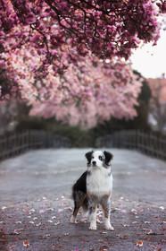 Katja-Reinl-Photography-Blue-merle-Australian-Shepherd-Rüde-steht-unter-rosa-Magnolienbaum