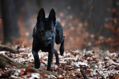 Katja-Reinl-Photography-junge-schwarze-Wolfshündin-läuft-durch-den-Wald