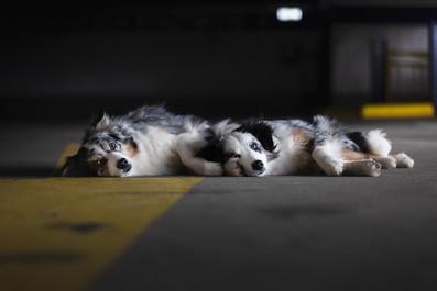 Katja-Reinl-Photography-zwei-Australian-Shepherd-liegen-in-einem-Parkhaus-auf-dem-Boden