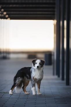 Katja-Reinl-Photography-junger-blue-merle-Australian-Shepherd-Rüde-steht-im-Gegenlicht-auf-einem-Parkplatz.