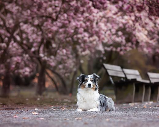 Katja-Reinl-Photography-blue-merle-Australian-Shepherd-liegt-unter-rosa-Magnolienbaum