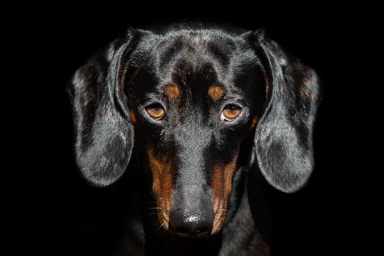 Katja-Reinl-Photography-Tigerdackel-schwarz-schaut-mit-Dackelblick-vor-schwarzem-Hintergrund-in-die-Kamera