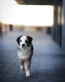 Katja-Reinl-Photography-blue-merle-Australian-Shepherd-Welpe-läuft-auf-einem-Parkplatz-auf-mich-zu
