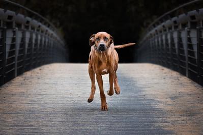 Katja-Reinl-Photography-brauner-Rhodesian-Ridgeback-Rüde-rennt-ueber-eine-Brücke-auf-mich-zu