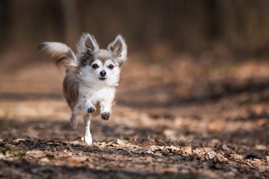 Katja-Reinl-Photography-Chihuahua-rennt-im-Wald-auf-Kamera-zu