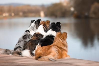 Katja-Reinl-Photography-vier-Shelties-sitzen-nebeneinander-und-schauen-auf-einen-Fluss