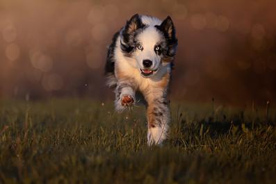 Katja-Reinl-Photography-blue-merle-Australian-Shepherd-rennt-im-Sonnenuntergang-auf-Kamera-zu
