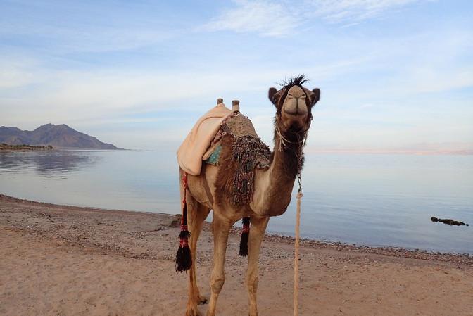 Camel walking on the beach