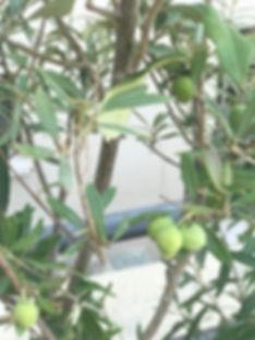 Olives at Beltrami.jpg