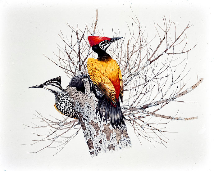 At Peace -- Greater Goldenback Woodpecker