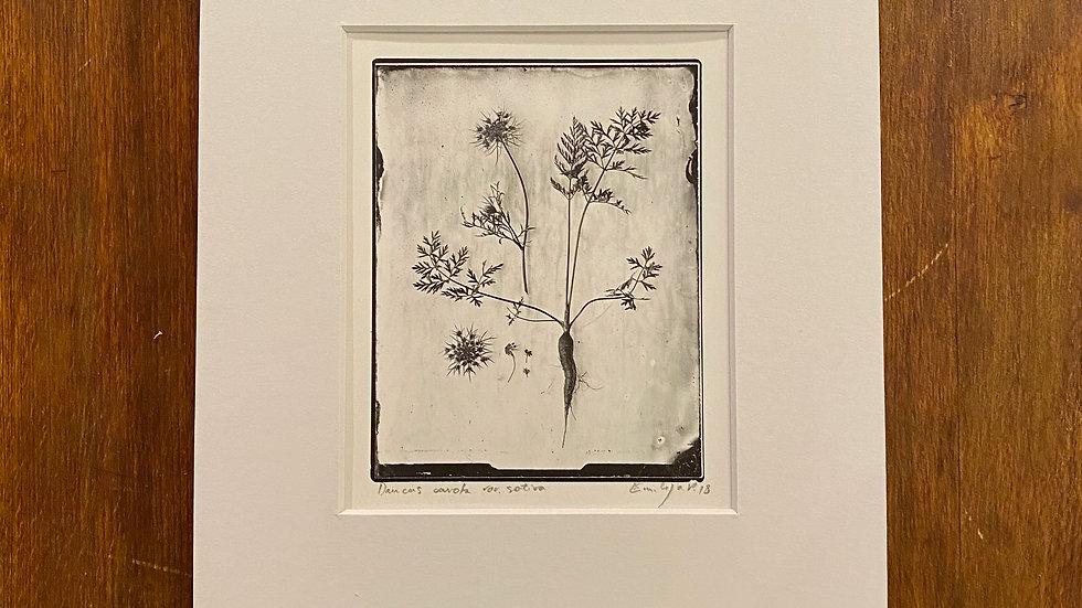 Herbarium Carotte