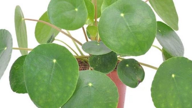 Plante d'intérieur Pillea peperomiodes