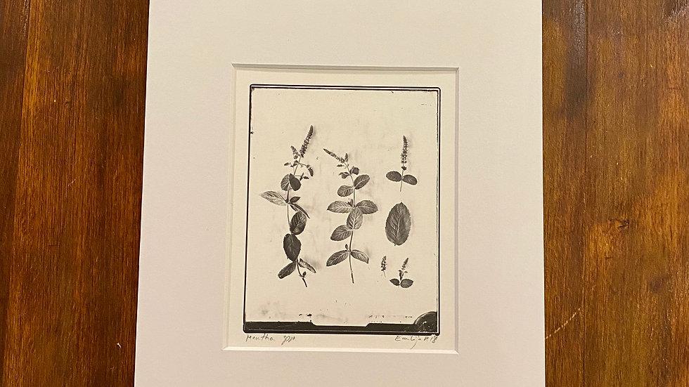 Herbarium Menthe