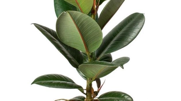 Plante d'intérieur Ficus robusta