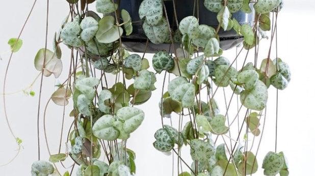 Plante d'intérieur Ceropegia woodii