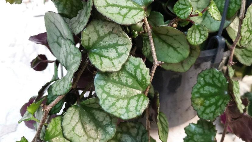 Plante d'intérieur Senecio mikanoides