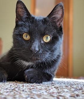 Pet Training Cedar Rapids, Cat Training Cedar Rapids, Black Cat, Day Camps
