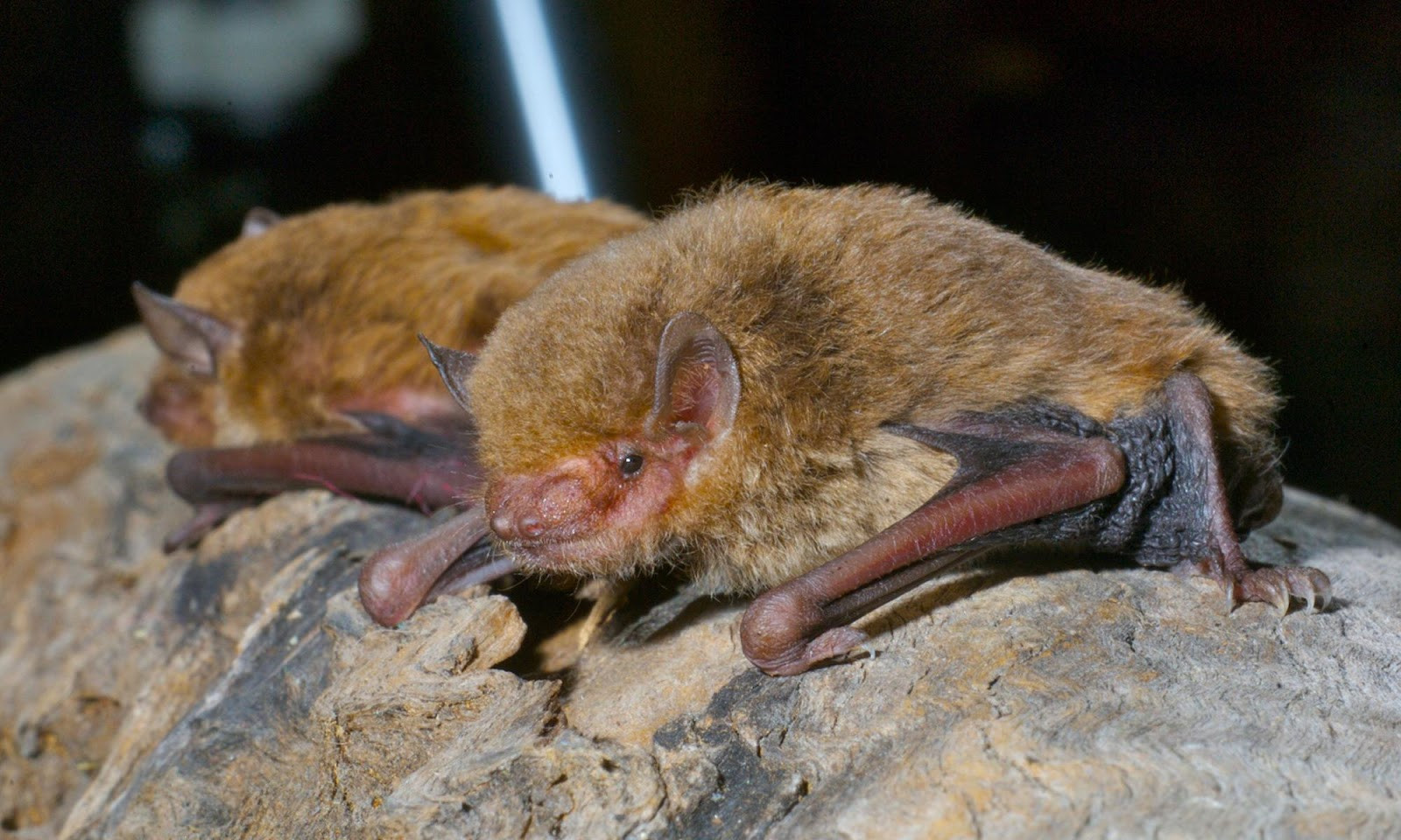 Eastern Broad Nosed Bat - Scotorepens Or
