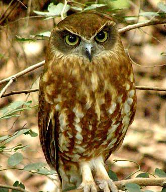 Southern Bookbook Owl - Ninox novaeseela