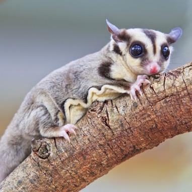 Sugar Glider Possum - Petaurus Breviceps