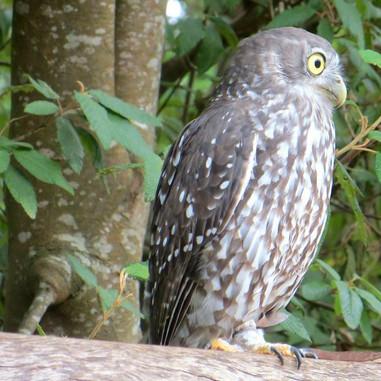 Barking Owl - Ninox connivens.jpg
