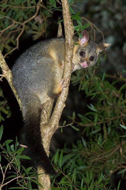Brushtail Possum - Trichosurus Vulpecula