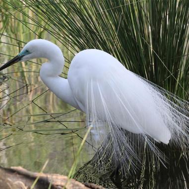 Great Egret - Ardea alba modesta