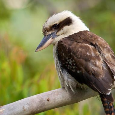 Kookaburra - Dacelo novaeguineae