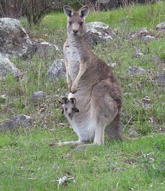 Eastern Grey Kangaroo - Macropus Gigante